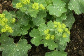 Lady's Mantle, Photo by Pamela T. Hubbard