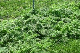 Poison hemlock in the spring time along a fencerow. Image from Ohio State University.