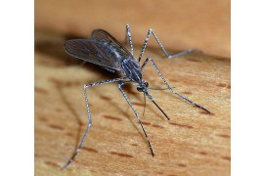 Mosquito_CC BY-SA 3.0 wikimedia