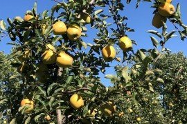 Orchard Management: Cultivars, Rootstocks, and Training Systems