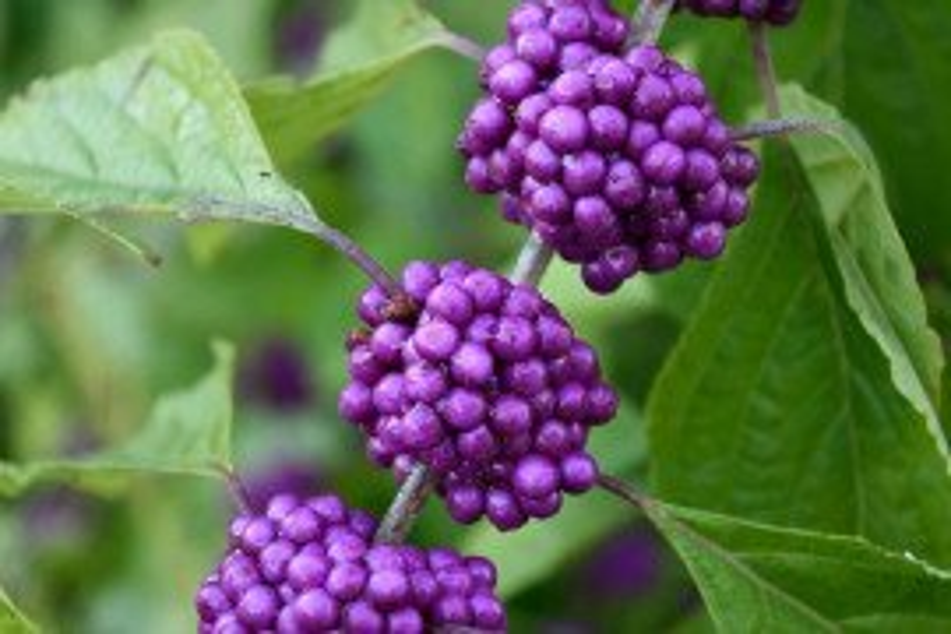 Beautyberry CC0