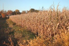Knowing your feed source is imperative. Corn field at harvest, Iowa. Photo: E.Hines