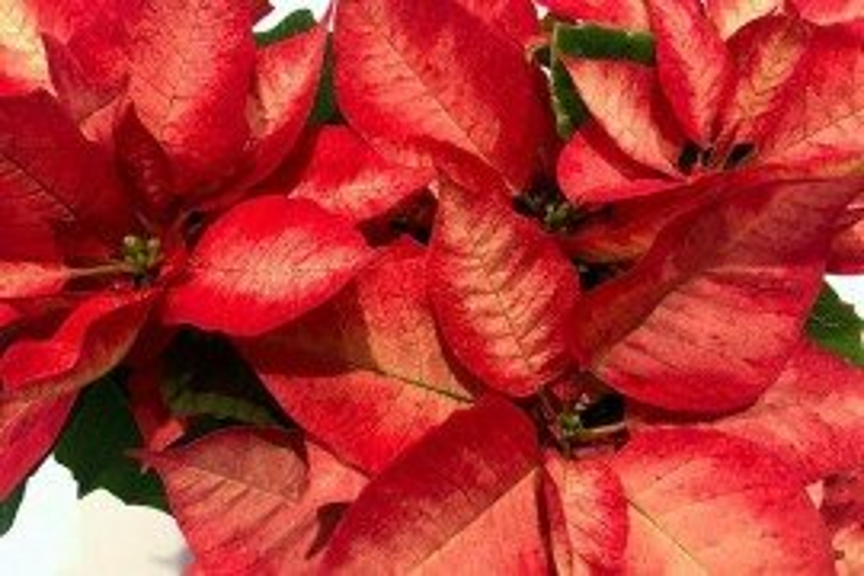 Poinsettia 'Ice Crystals' Penn State Extension Master Gardener Program