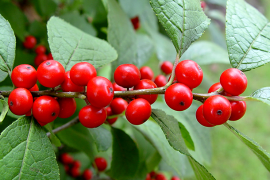 Winterberry holly Photo: Mike Masiuk, Penn State