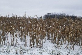 Unharvested corn that has been caught in the most recent snow in Mercer County. Photo by Claire Coombs.