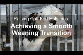 Raising Calf-Fed Holsteins: Achieving a Smooth Weaning Transition
