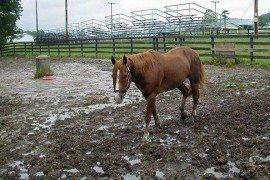 Mud_Lot, eXtensionHorses, CC BY-SA 2.0 (https://creativecommons.org/licenses/by-sa/2.0), Wikimedia Commons