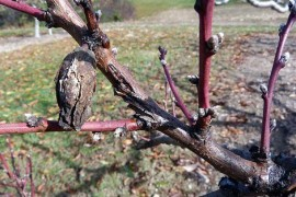 Be sure to remove fruit mummies from peach trees while pruning to limit brown rot for the coming season. Photo: K. Peter, Penn State