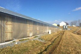 Bed Bugs in Poultry Facilities: Identification, Scouting, and Control Options