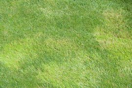 Roughstalk bluegrass (Poa trivialis) is a lighter green color than the other cool season lawn grasses. Photo: Pete Landschoot, Penn State