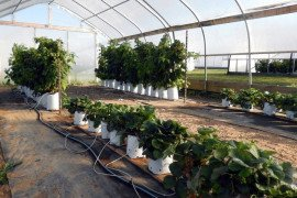 'Abion' strawberries and 'Polka' (left) and 'Josephine' raspberries (right) at Penn State's High Tunnel facility.