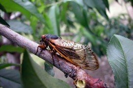 Periodical cicada on apple tree. Photo: G. Krawczyk, Penn State