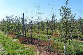 Apple trees in decline. Photo: Kari Peter, Penn State