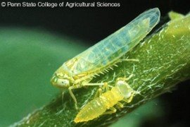 Figure 1. Potato leafhopper adult (with wings) and nymph. (Photo by Art Hower, Penn State)