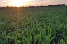 Oats and brassica mix for supplemental forage.