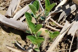 Emerged no-till soybeans. Photo by D. Lingenfelter, Penn State Weed Science