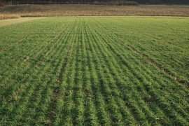 Rye cover crop in early November. Photo credit: W.S. Curran.