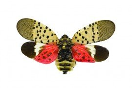 Spotted Lanternfly Frequently Asked Questions