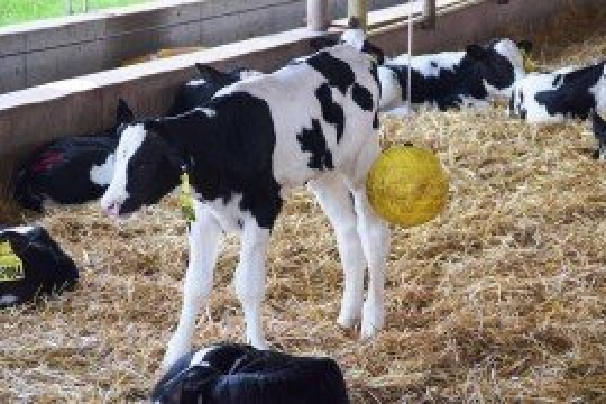 Calf Photo Credit: A. Sandeen, Penn State