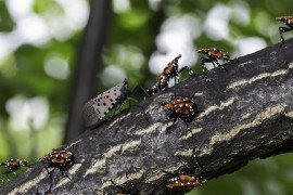 Spotted Lanternfly Management Resources