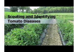 Scouting and Identifying Tomato Diseases