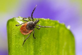 Tick Series: Ecology and How to Approach Tick Control