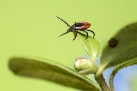 Tick Series: Lyme Disease and Other Tick-Borne Diseases