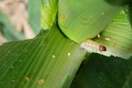 Selecting Bt Corn Traits for Insect Pest Management