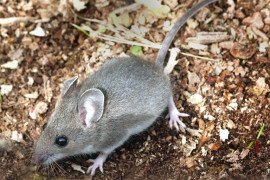 Is There a Mouse in the House? Eliminate Mice with IPM