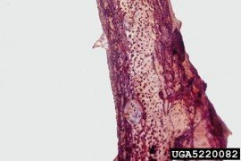 stem canker (Leptosphaeria coniothyrium). Photo: Florida Division of Plant Industry , Florida Department of Agriculture and Consumer Services, Bugwood.org