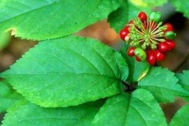 Ginseng fruit. Photo by Eric Burkhart