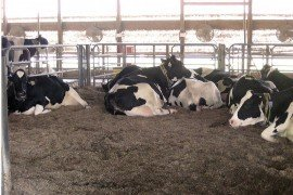 Are You Keeping A Close Eye To Your Transition Cows?