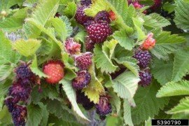 Home Fruit Production: Table 7.4. Efficacy of Insecticides on Brambles