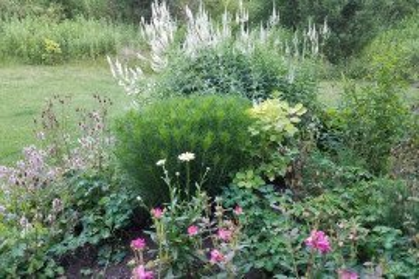 Veronicastrum virginicum - culver's root