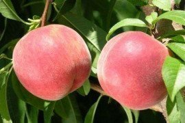 USDA, university and private breeding programs have produced a number of new peach and nectarine cultivars in recent years.