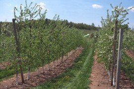"""Return bloom of 8th leaf Honeycrisp/M.26 apple trees at FREC, May 1, 2015. Row on the left received no return bloom sprays. Row on the right received 3 """"sides"""" of RB sprays - one spray of NAA and 2 sprays of ethephon - June/July, 2014."""