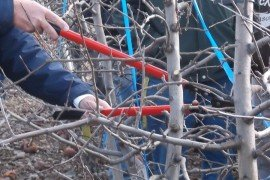 Fruit Tree Pruning - Basic Principles