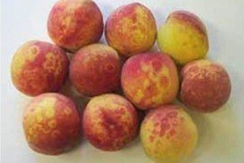 Plum Pox Virus - Replanting Stone Fruit in Sites Previously Affected by PPV