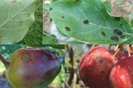 Upper left - early scab infection on bottom surface of leaf; upper right - late season scab with top surface lesions; lower left - early scab on fruit; lower right - late season scab.