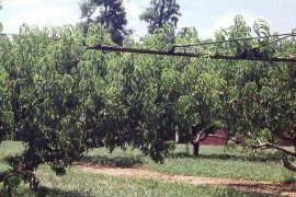 Summer shearing of peach trees can reduce fruit size and soluble solids, but if vigorous vegetative shoots that shade the tree interior are removed by hand pruning by early July, quality shoots in the tree interior can be maintained.