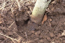 Pine vole injury is found on the below-ground portions of a tree.