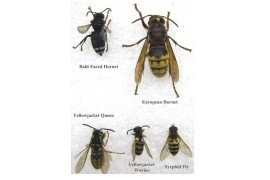 Tree Fruit Insect Pests - Yellow Jackets and Hornets