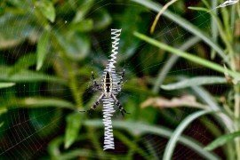 Argiope aurantia on web showing stabilimentum. Photo by Deisy Mendoza, WikiMedia
