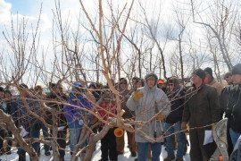 Tree Fruit Cold Hardiness - Pruning Peach Trees with No Crop
