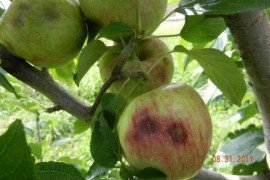 """Late season feeding usually causes depressions on the fruit surface and the appearance of necrotic tissue (corking) just below the fruit surface. Late season feeding injury is often confused with """"cork spot,"""" which is caused by calcium deficiency."""
