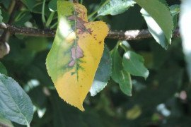 Necrotic leaf blotch, which is a physiological disorder and not a disease, has been manifesting throughout the area and is predominantly seen on the leaves of Golden Delicious, as well as those cultivars with Golden Delicious as a parent.