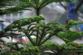 Norfolk Island Pine Diseases