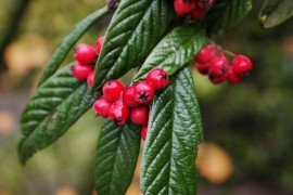 Cotoneaster Diseases