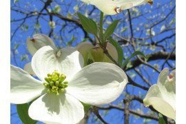 Dogwood Diseases