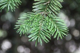 Douglas-Fir Diseases